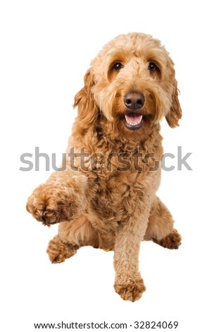 Golden Doodle dog offers a paw to shake isolated on white