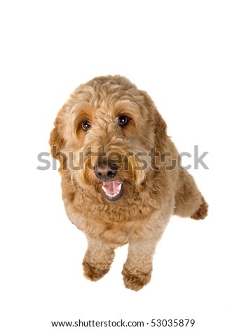 Golden Doodle dog sitting and panting on a white background - stock photo