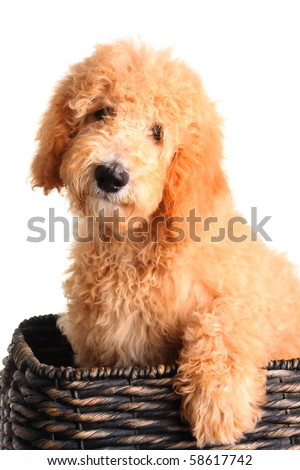 Golden doodle puppy in a wicker basket. - stock photo