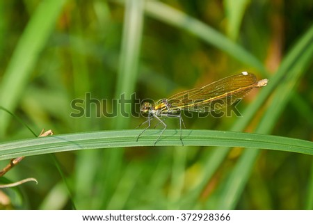 Golden dragonfly is sitting on the stalk of grass