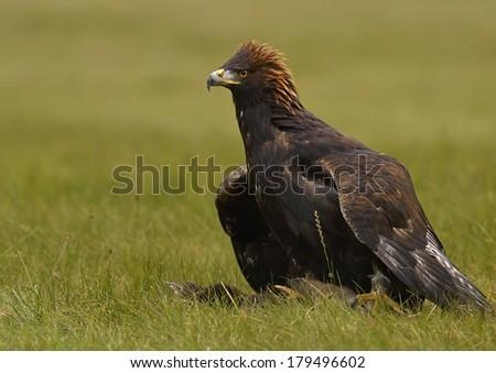 Golden Eagle (Aquila chrysaetos) - stock photo