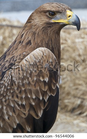 Golden eagle, Aquila chrysaetos - stock photo