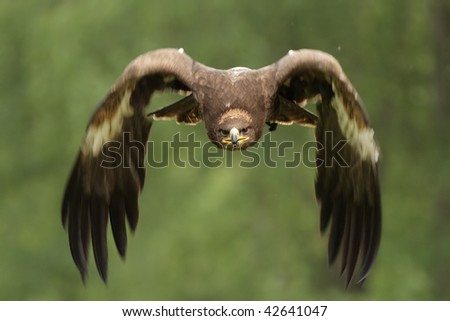 Golden Eagle (Aquila chrysaetos) in flight. - stock photo
