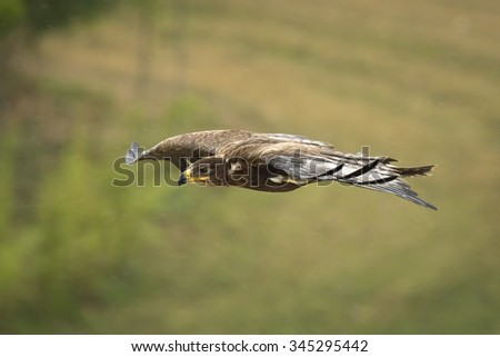 Golden eagle, Aquila chrysaetos, in flight while hunting for a prey. - stock photo