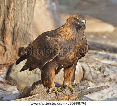 Golden eagle (Aquila chrysaetos) is one of best-known birds of prey in Northern Hemisphere - stock photo