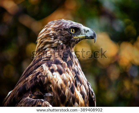 Golden Eagle (Aquila chrysaetos), one of the best known birds of prey in the Northern Hemisphere - stock photo