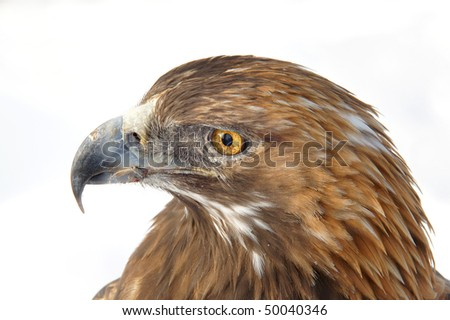 golden eagle.  Aquila chrysatos