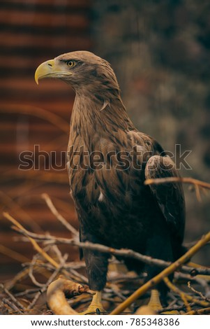 Golden eagle , at the zoo
