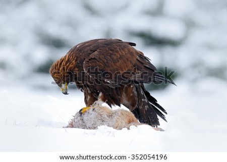 Golden Eagle, bird of prey with catch kill red fox in snowy winter, snow in the forest habitat, Norway - stock photo