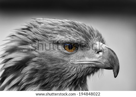 golden eagle black and white with color eye - stock photo