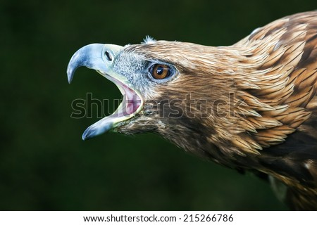 Golden Eagle Close-up - stock photo