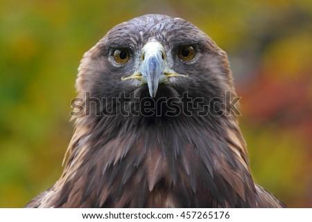 Golden Eagle close-up - stock photo
