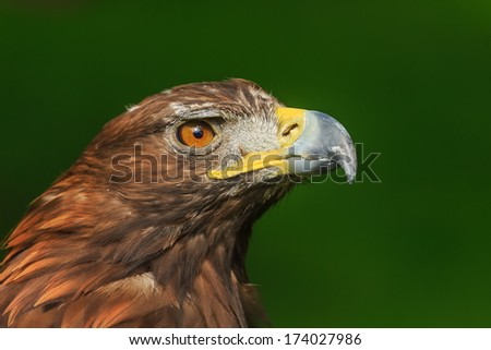 golden eagle close up with dark green background - stock photo