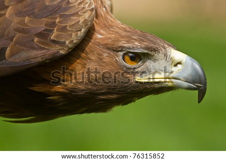 golden eagle detail head - stock photo
