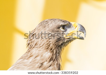 golden eagle, detail of head with large eyes, pointed beak - stock photo