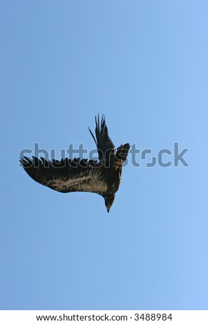 Golden eagle flying on blue sky - stock photo