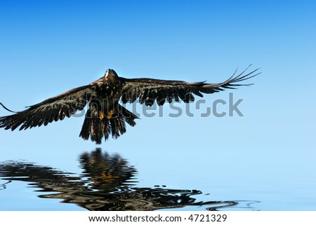 Golden eagle flying, water reflection - stock photo