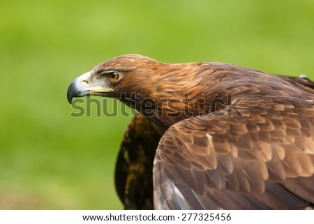 golden eagle He is ready to fly - stock photo