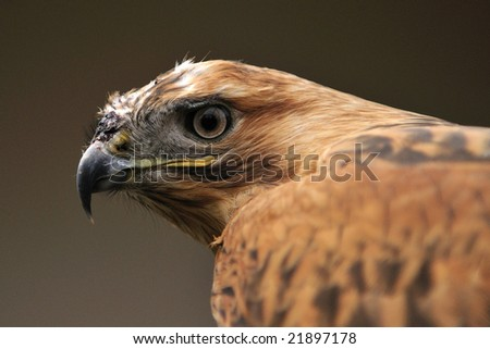 Golden eagle  head close-up.