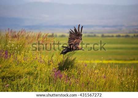 Golden eagle. Hunting  - stock photo