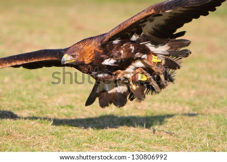Golden Eagle in flight - stock photo