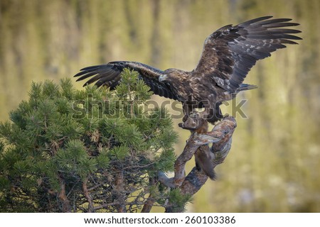 Golden eagle landing in a pine tree with prey - stock photo