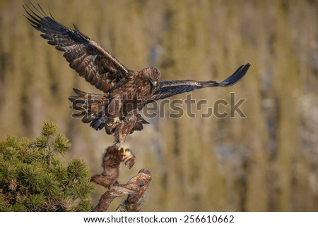 Golden eagle landing with prey - stock photo