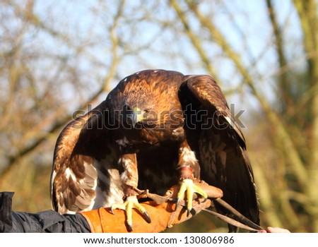 Golden Eagle on a falconer's hand - stock photo