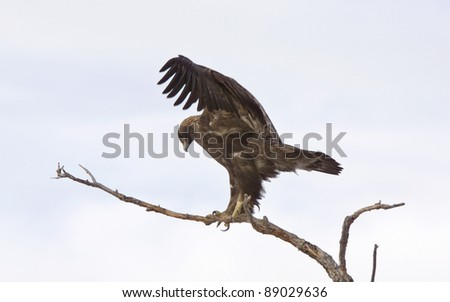 Golden Eagle on tree branch - stock photo