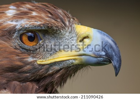 golden eagle portrait close up - stock photo