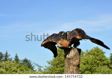 Golden Eagle ready to fly - stock photo