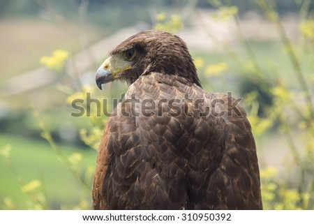 Golden eagle resting in the sun - stock photo