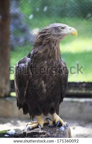 Golden eagle sitting on a log. Novosibirsk Zoo. Russia.