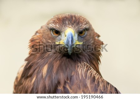 golden eagle view - stock photo