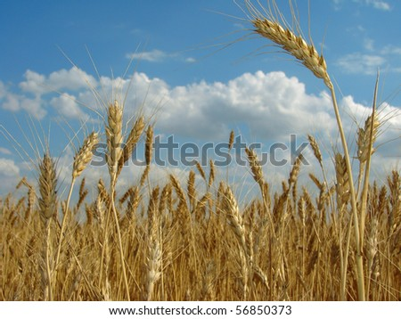 golden ears against ripening wheat field and blue sky - stock photo