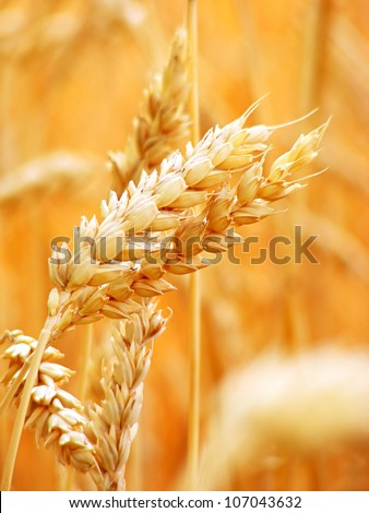 Golden ears of wheat on the field. - stock photo