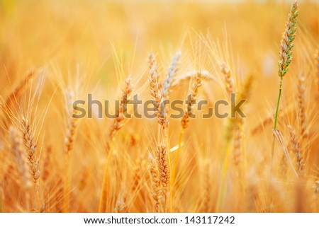 Golden ears of wheat on the field.