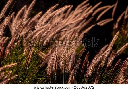 Golden Ears of Wheat on the Field - stock photo