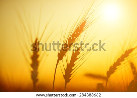 Golden ears of wheat on the field in sunlight. Macro image. - stock photo
