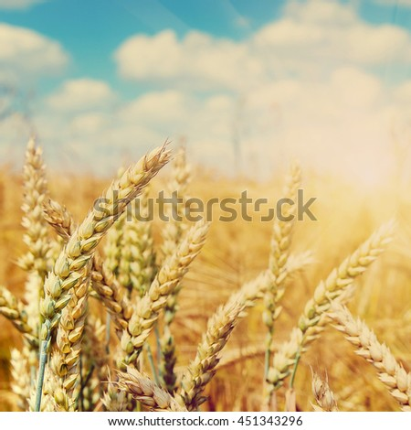 golden ears of wheat or rye close up on a blue sky background.  Rich harvest Concept. majestic rural landscape with blue sunny sky with sun. Copy space installation of sunlight on the horizon - stock photo