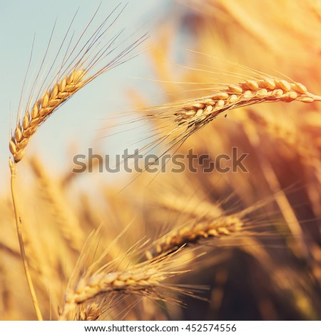 golden ears of wheat or rye, close up. under the influence of sunlight. majestic rural landscape  Rich harvest Concept. small depth of field. Soft lighting effects. - stock photo