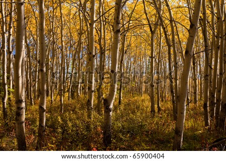Golden fall colors in espen (Populus tremuloides) stand in boreal forest of Yukon Territory, Canada. - stock photo