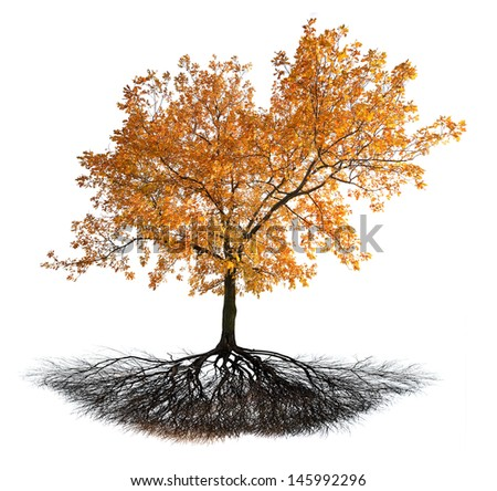 golden fall oak with root isolated on white background