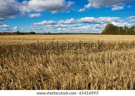 golden field after harvesting in a sunny day - stock photo