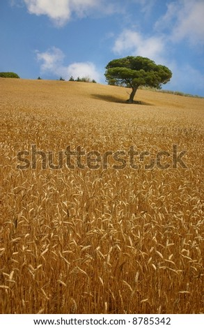 Golden field and tree - stock photo