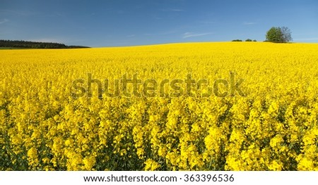 golden field of flowering rapeseed with blue sky - brassica napus - plant for green energy and oil industry - stock photo