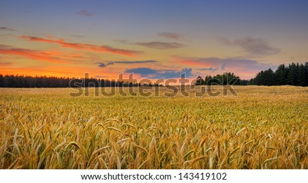 golden field of wheat under vivid sunset sky - stock photo