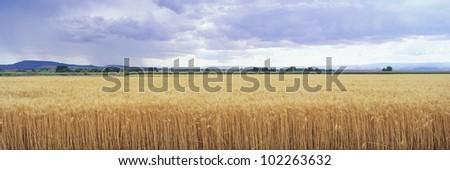 Golden field under overcast sky - stock photo