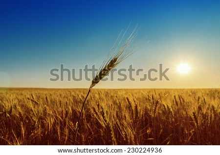 golden field with harvest and sunset - stock photo