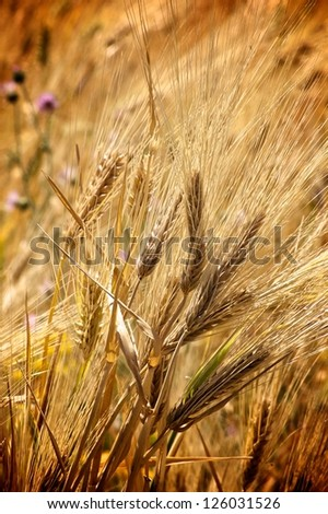 Golden fields of crops ready for harvesting - stock photo